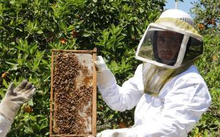 موسم جني العسل في غزة