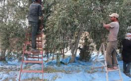 مزارعو غزة يحصدون زيتونهم بعد العدوان