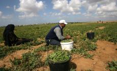 حقيقة فرض بلدية بيت لاهيا ضرائب جديدة على المزارعين !