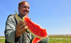 البطيخ الغزي.. اكتفاء ذاتي وجودة في الإنتاج