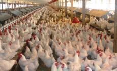 الزراعة تعلن عن حملة شاملة لترخيص مزارع الدواجن