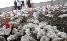 الزراعة بغزة تُتلف نصف مليون بيضة فاسدة وتوضح أسباب ارتفاع أسعار الدواجن