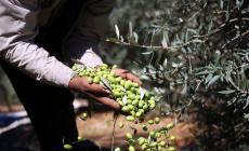 الزراعة: حققنا اكتفاءً ذاتيًا في إنتاج زيت الزيتون بنسبة 100%
