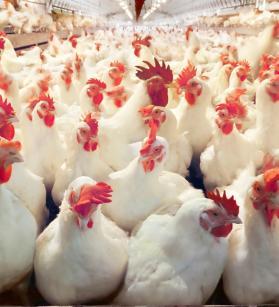دجاج.jpg