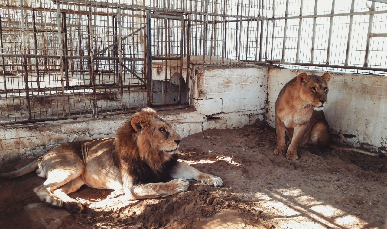 نفوق 4 أشبال في حديقة حيوان في رفح بسبب البرد