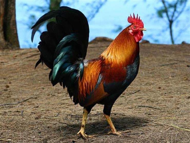 ما الذي يحدث للديك أو الدجاجة حينما ترسم خط مستقيم أمام عينيه ؟